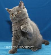 Британские котята. Питомник