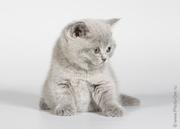 Питомник британских короткошерстных кошек «Lozovsky»