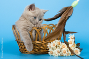 Продается британский кот лилового окраса