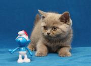 Британские котята питомника