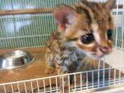 Азиатская леопардовая кошка.