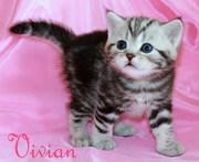 Британские мраморные котята  из питомника VIVIAN.