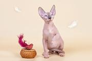 Самая удивительная кошка - сфинкс!