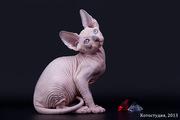 Котёнок сфинкс принесёт Вам удачу.