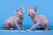 Племенные котята сфинксы.