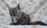 Котята Мейн Куна в Иркутске!