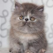 Персидские котята из Московского питомника