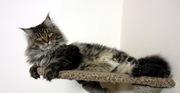 Кот мейн-кун  для вязок