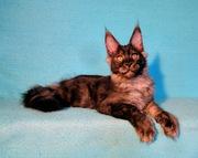 Продаются котята мейн-кун  из  питомника