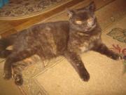 клубные котята питомника''sweettoy''