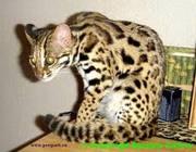 Продам АЛК азиатских леопардовых кошек