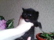 Продаются британские котята,  возраст 1 месяц