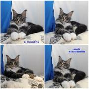Мейн-кун кот кошки породистые коты
