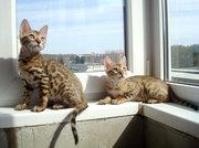 Бенгальские котята,  купить
