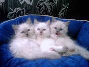 Котята породы Ragdoll (кошка-кукла).
