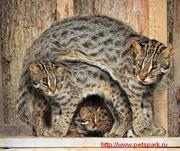 Дальневосточный кот продам