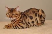 Бенгальские-котята верные друзья