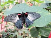 Тропические Живые Бабочки из  Пакистана