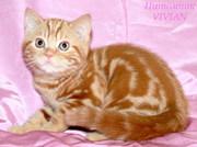 Британские котята красный мрамор из питомника VIVIAN.