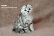 Шотландские котята страйты и фолды