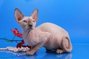 Кот , породы  канадский  сфинкс